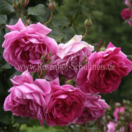 parade rosen online kaufen im rosenhof schultheis rosen online kaufen im rosenhof schultheis. Black Bedroom Furniture Sets. Home Design Ideas