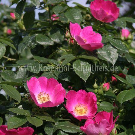 rosa canina von kiese rosen online kaufen im rosenhof. Black Bedroom Furniture Sets. Home Design Ideas