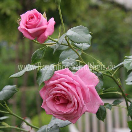 pink cloud rosen online kaufen im rosenhof schultheis. Black Bedroom Furniture Sets. Home Design Ideas