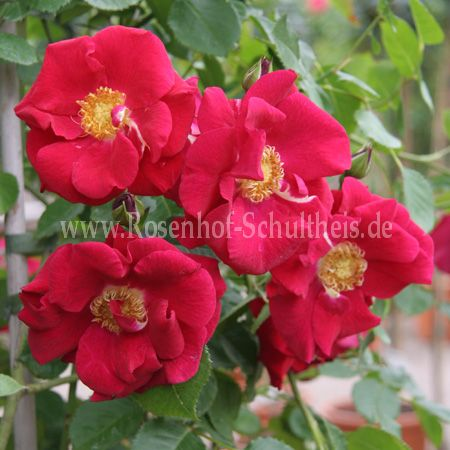 rosenfest rosen online kaufen im rosenhof schultheis rosen online kaufen im rosenhof schultheis. Black Bedroom Furniture Sets. Home Design Ideas