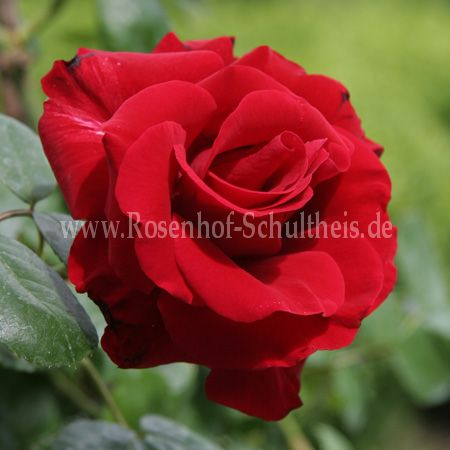 santana rosen online kaufen im rosenhof schultheis. Black Bedroom Furniture Sets. Home Design Ideas