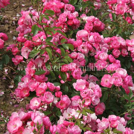 angela rosen online kaufen im rosenhof schultheis rosen online kaufen im rosenhof schultheis. Black Bedroom Furniture Sets. Home Design Ideas