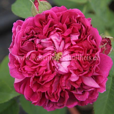 rose du roi fleurs pourpres rosen online kaufen im rosenhof schultheis rosen online kaufen. Black Bedroom Furniture Sets. Home Design Ideas