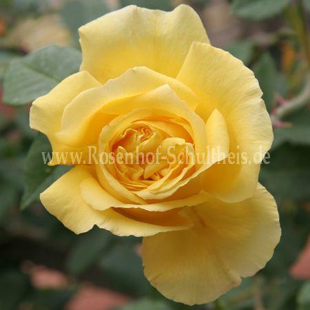 goldfassade rosen online kaufen im rosenhof schultheis. Black Bedroom Furniture Sets. Home Design Ideas