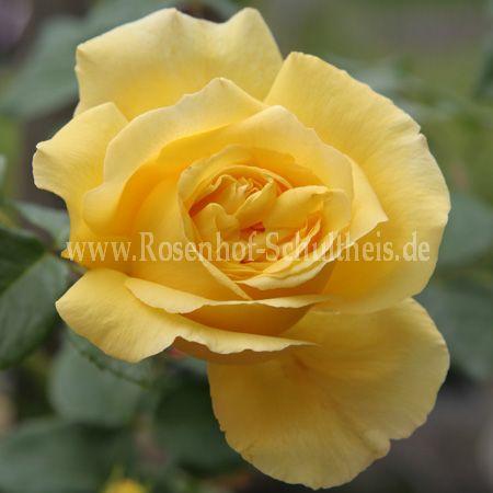 goldfassade rosen online kaufen im rosenhof schultheis rosen online kaufen im rosenhof. Black Bedroom Furniture Sets. Home Design Ideas