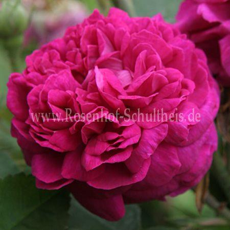 rose de resht rosen online kaufen im rosenhof schultheis. Black Bedroom Furniture Sets. Home Design Ideas