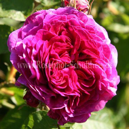 kean rosen online kaufen im rosenhof schultheis rosen online kaufen im rosenhof schultheis. Black Bedroom Furniture Sets. Home Design Ideas
