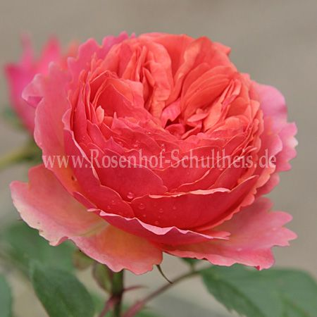 Chippendale - Rosen online kaufen im Rosenhof Schultheis – Rosen online kaufen im Rosenhof ...