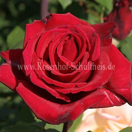 erotika rosen online kaufen im rosenhof schultheis rosen online kaufen im rosenhof schultheis. Black Bedroom Furniture Sets. Home Design Ideas