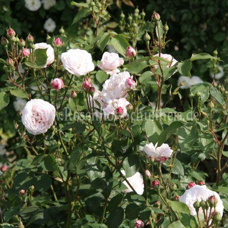 annie vibert rosen online kaufen im rosenhof schultheis rosen online kaufen im rosenhof. Black Bedroom Furniture Sets. Home Design Ideas