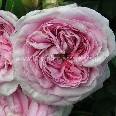 k nigin von d nemark rosen online kaufen im rosenhof schultheis rosen online kaufen im. Black Bedroom Furniture Sets. Home Design Ideas