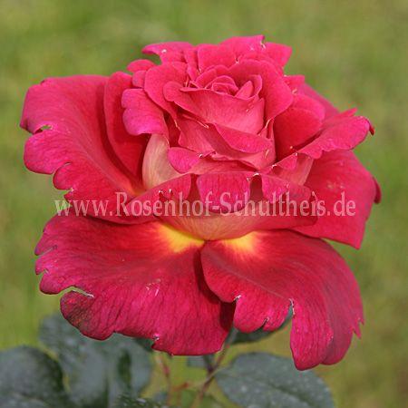copacabana rosen online kaufen im rosenhof schultheis rosen online kaufen im rosenhof schultheis. Black Bedroom Furniture Sets. Home Design Ideas