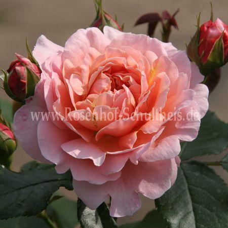 marie curie rosen online kaufen im rosenhof schultheis rosen online kaufen im rosenhof. Black Bedroom Furniture Sets. Home Design Ideas