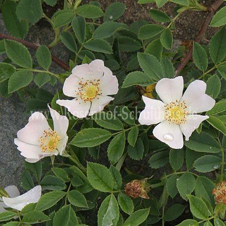 rosa canina rosen online kaufen im rosenhof schultheis rosen online kaufen im rosenhof. Black Bedroom Furniture Sets. Home Design Ideas