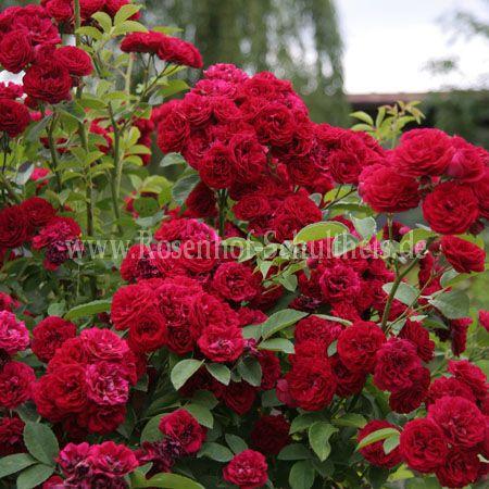 chevy chase rosen online kaufen im rosenhof schultheis rosen online kaufen im rosenhof. Black Bedroom Furniture Sets. Home Design Ideas