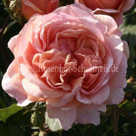 ausfather rosen online kaufen im rosenhof schultheis rosen online kaufen im rosenhof schultheis. Black Bedroom Furniture Sets. Home Design Ideas