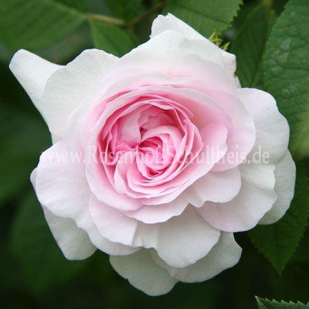 chloris rosen online kaufen im rosenhof schultheis rosen online kaufen im rosenhof schultheis. Black Bedroom Furniture Sets. Home Design Ideas