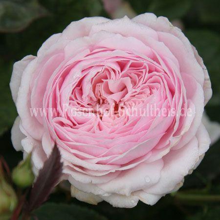 geoff hamilton rosen online kaufen im rosenhof schultheis rosen online kaufen im rosenhof. Black Bedroom Furniture Sets. Home Design Ideas