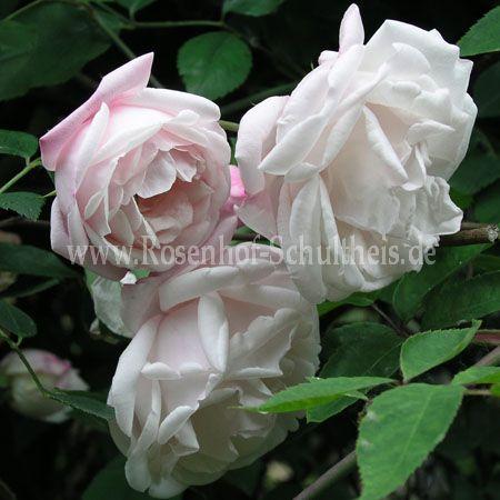 rosa arvensis 39 splendens 39 rosen online kaufen im rosenhof schultheis rosen online kaufen im. Black Bedroom Furniture Sets. Home Design Ideas