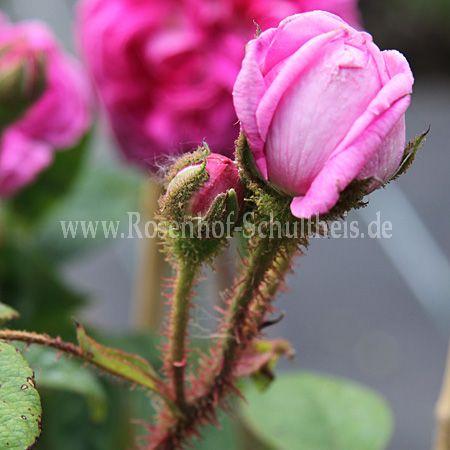 catherine de w rttemberg rosen online kaufen im rosenhof schultheis rosen online kaufen im. Black Bedroom Furniture Sets. Home Design Ideas