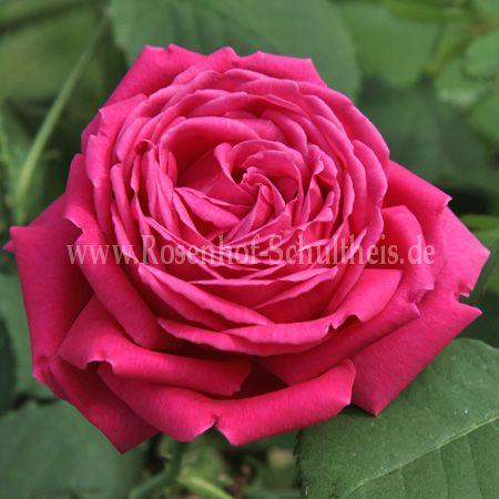 urdh rosen online kaufen im rosenhof schultheis rosen online kaufen im rosenhof schultheis. Black Bedroom Furniture Sets. Home Design Ideas