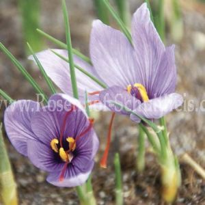 crocus sativus rosen online kaufen im rosenhof. Black Bedroom Furniture Sets. Home Design Ideas