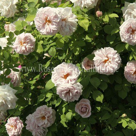 aschermittwoch rosen online kaufen im rosenhof. Black Bedroom Furniture Sets. Home Design Ideas