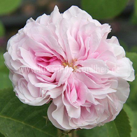 bellard rosen online kaufen im rosenhof schultheis. Black Bedroom Furniture Sets. Home Design Ideas