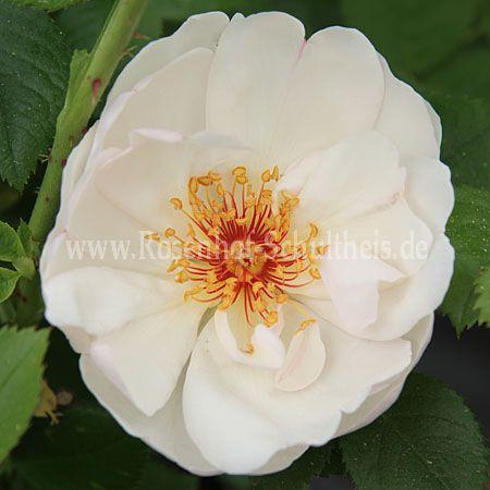 jacqueline du pr rosen online kaufen im rosenhof schultheis rosen online kaufen im rosenhof. Black Bedroom Furniture Sets. Home Design Ideas
