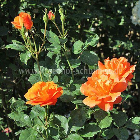 orange dawn rosen online kaufen im rosenhof schultheis rosen online kaufen im rosenhof. Black Bedroom Furniture Sets. Home Design Ideas