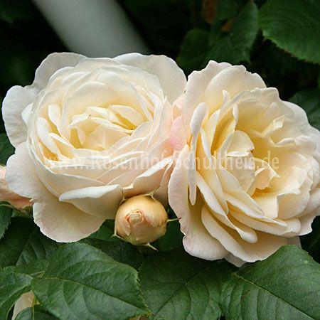 uetersener klosterrose rosen online kaufen im rosenhof schultheis rosen online kaufen im. Black Bedroom Furniture Sets. Home Design Ideas