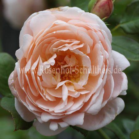 ambridge rose rosen online kaufen im rosenhof schultheis rosen online kaufen im rosenhof. Black Bedroom Furniture Sets. Home Design Ideas