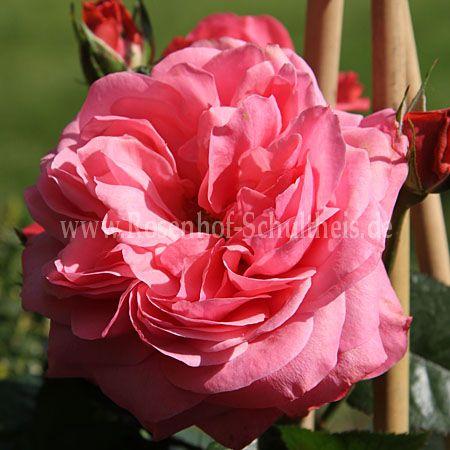rosanna rosen online kaufen im rosenhof schultheis. Black Bedroom Furniture Sets. Home Design Ideas