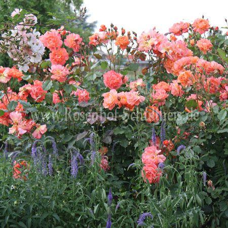 westerland rosen online kaufen im rosenhof schultheis rosen online kaufen im rosenhof schultheis. Black Bedroom Furniture Sets. Home Design Ideas