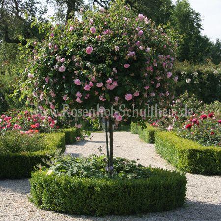may queen rosen online kaufen im rosenhof schultheis rosen online kaufen im rosenhof schultheis. Black Bedroom Furniture Sets. Home Design Ideas