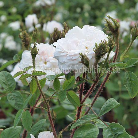 muscosa alba rosen online kaufen im rosenhof schultheis. Black Bedroom Furniture Sets. Home Design Ideas