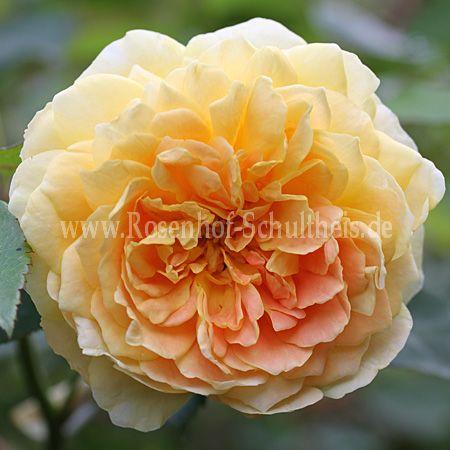 molineux rosen online kaufen im rosenhof schultheis rosen online kaufen im rosenhof schultheis. Black Bedroom Furniture Sets. Home Design Ideas
