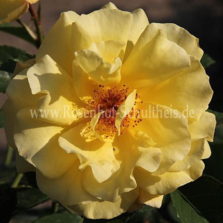 golden gate rosen online kaufen im rosenhof schultheis. Black Bedroom Furniture Sets. Home Design Ideas
