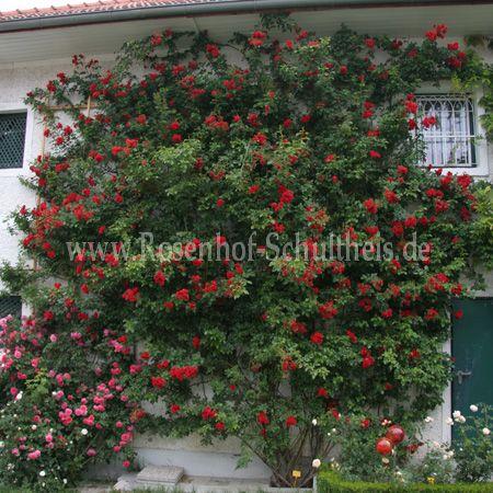 strombergzauber rosen online kaufen im rosenhof schultheis rosen online kaufen im rosenhof. Black Bedroom Furniture Sets. Home Design Ideas