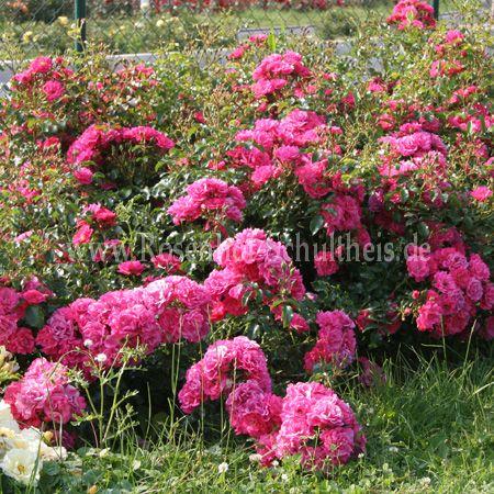Heidetraum Rosen Online Kaufen Im Rosenhof Schultheis Rosen