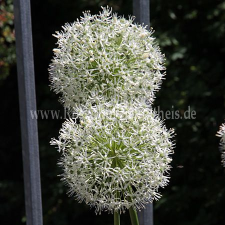 Allium Hybride 'Mount Everest'