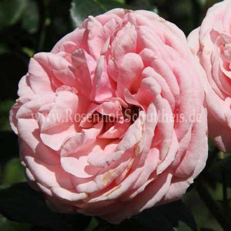 giardina rosen online kaufen im rosenhof schultheis rosen online kaufen im rosenhof schultheis. Black Bedroom Furniture Sets. Home Design Ideas