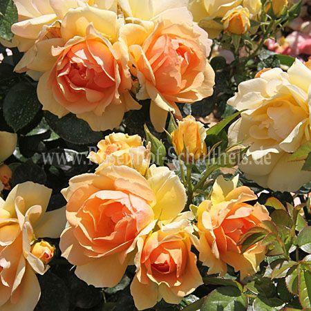 hansestadt rostock rosen online kaufen im rosenhof schultheis rosen online kaufen im. Black Bedroom Furniture Sets. Home Design Ideas