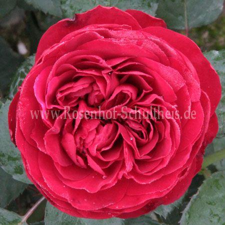 florentina rosen online kaufen im rosenhof schultheis. Black Bedroom Furniture Sets. Home Design Ideas