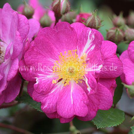 heinrich karsch rosen online kaufen im rosenhof schultheis rosen online kaufen im rosenhof. Black Bedroom Furniture Sets. Home Design Ideas