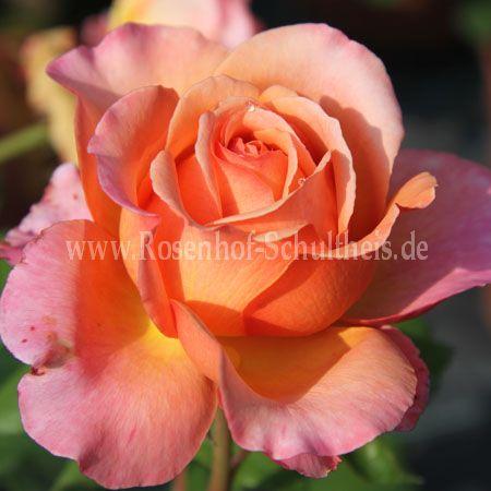albrecht d rer rosen online kaufen im rosenhof schultheis rosen online kaufen im rosenhof. Black Bedroom Furniture Sets. Home Design Ideas