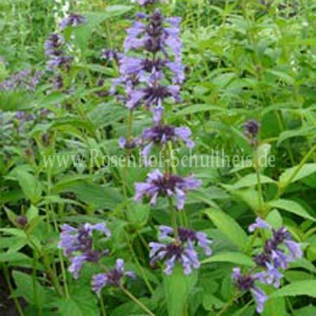 nepeta manchuriensis 39 manchu blue 39 hohe katzenminze. Black Bedroom Furniture Sets. Home Design Ideas