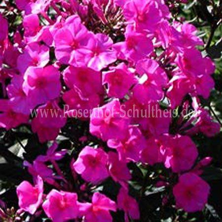 phlox amplifolia 39 winnetou 39 gro blatt phlox rosen online kaufen im rosenhof schultheis. Black Bedroom Furniture Sets. Home Design Ideas