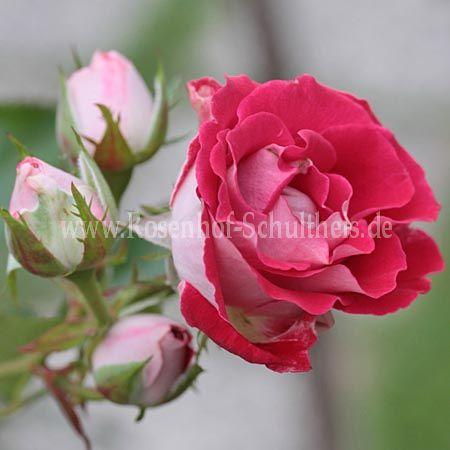 sch ne koblenzerin rosen online kaufen im rosenhof schultheis rosen online kaufen im. Black Bedroom Furniture Sets. Home Design Ideas