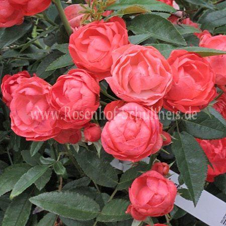 orange muttertag rosen online kaufen im rosenhof. Black Bedroom Furniture Sets. Home Design Ideas
